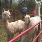 llamas at nolensville buttercup festival 2013